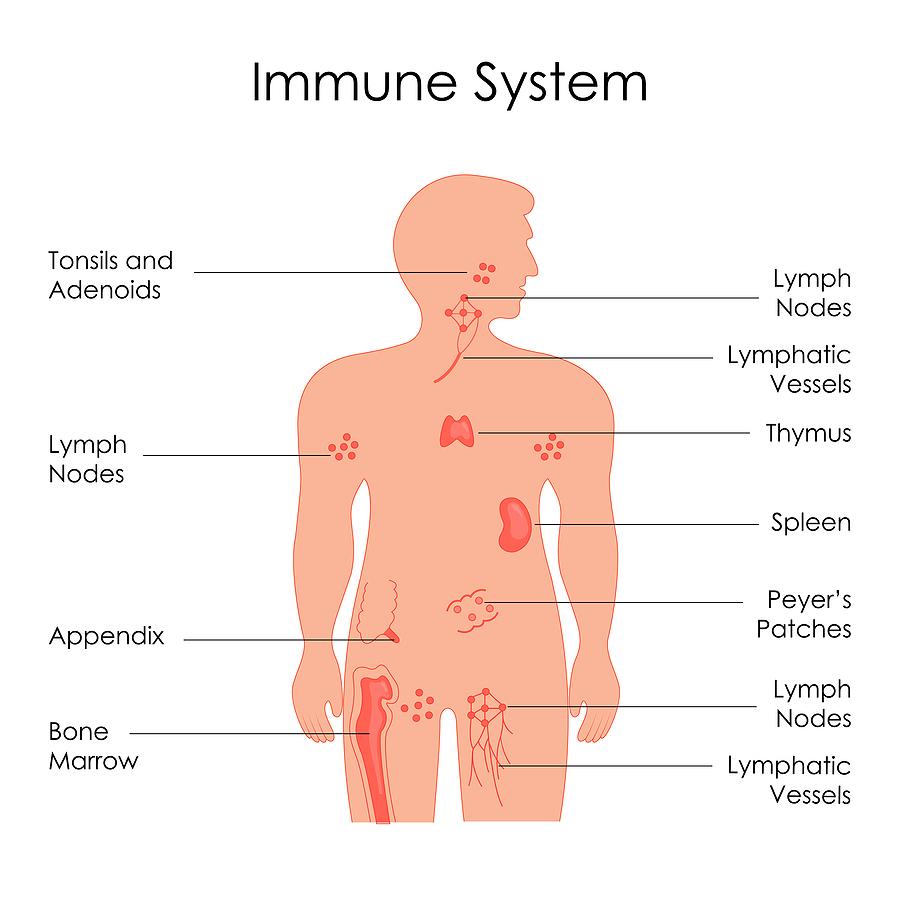 graphic of immune system